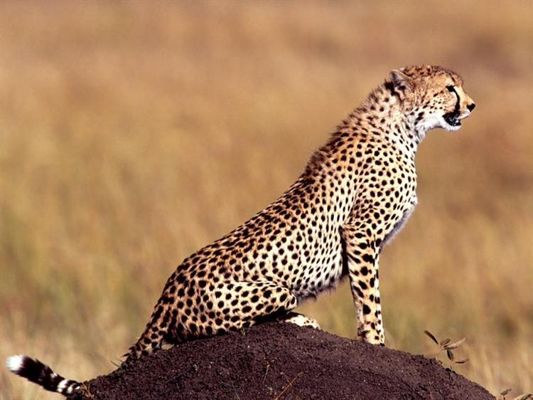 Çita ve hız