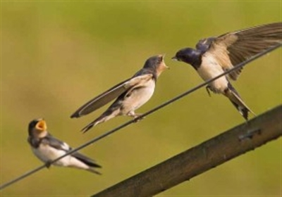Yüksek gerilim hatlarına kuşlar konuyor peki Niçin elektrik çarpmıyor?